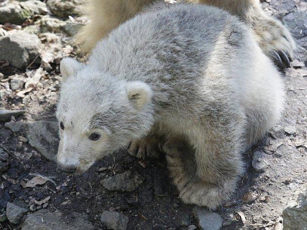 Jméno malé lední medvědice se dozví návštěvníci od její kmotry tenistky Lucie Šafářové.