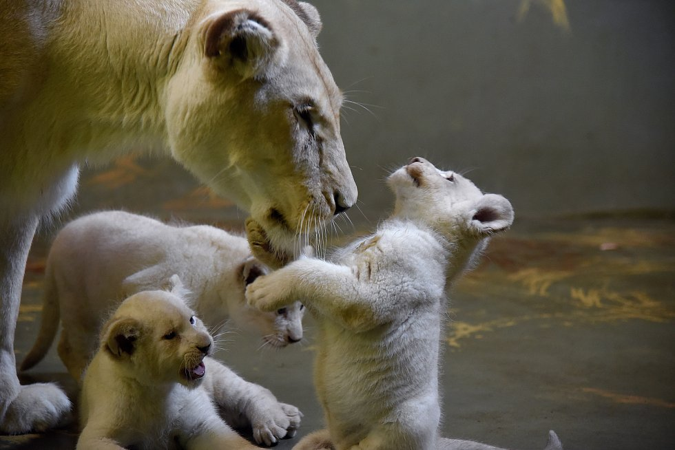 Mláďata lva jihoafrického v hodonínské zoo.