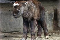 Do stáda takinů indických v brněnské zoo přibyla malá samička, která dostala jméno Chica. Nedlouho po ní přišel na svět sameček, který dostal jméno Hugo.