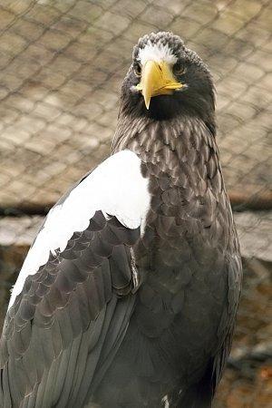 Orel kamčatský vbrněnské zoo.