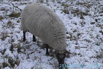 Jedna z problémových ovcí.