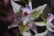 Jak vypadají vzácné orchideje? To ukáže výstava v Kounicově ulici.