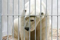 Medvěd Umca v záložním výběhu kousek od místa pro lední medvědy v brněnské zoo..