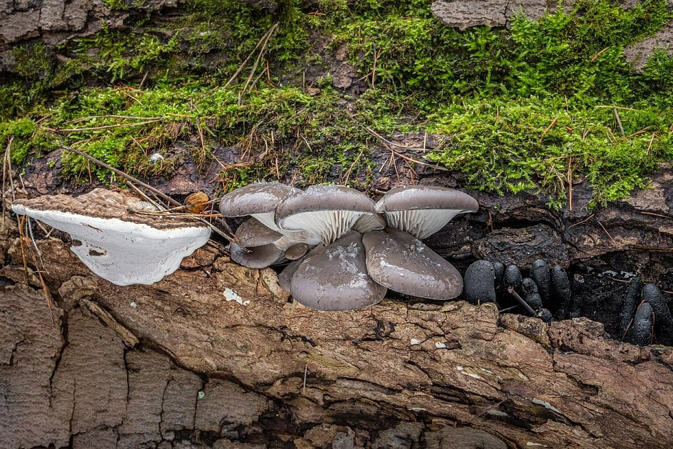 Zajímavá a pěkná trojkombinace na jednom kmeni – lesklokorka ploská (nejedlá), hlíva ústřičná (jedlá) a dřevnatka mnohotvárná (nejedlá).