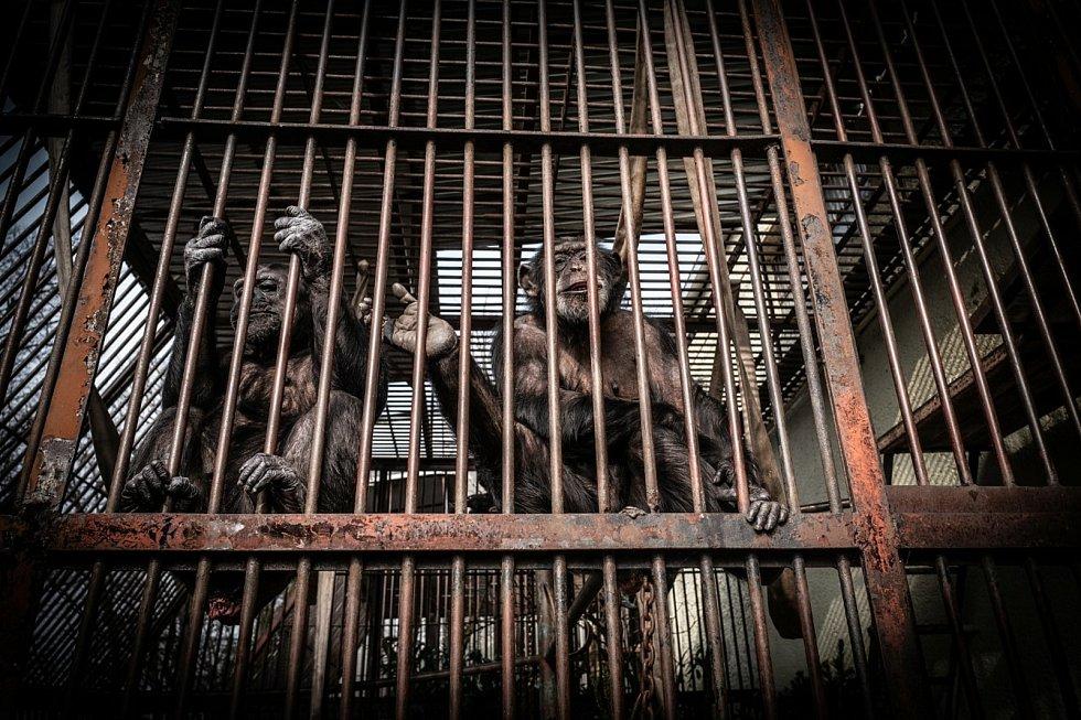 Šimpanzí pár z brněnské zoo.