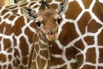 Žirafí sameček se má čile k světu.