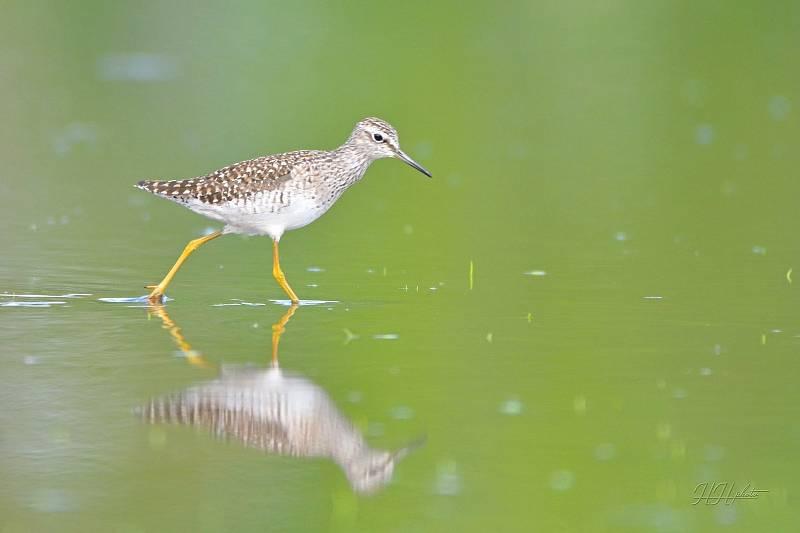 Zachycení ptáků v přírodě je pokaždé plné překvapení. Na snímku je vodouš bahenní.