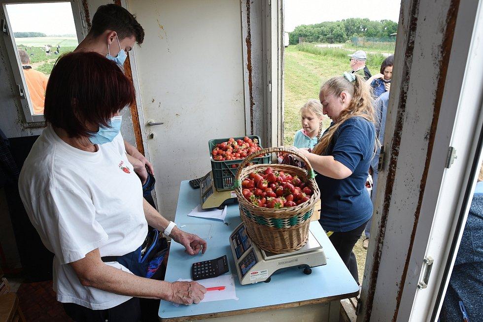 Samosběr jahod v Podolí na Brněnsku.