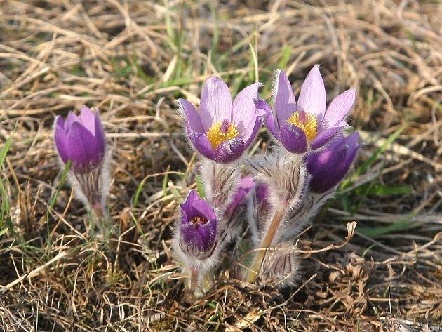 Fialové květy konikleců velkokvětých vykvetly v přírodní rezervaci Kamenný vrch.