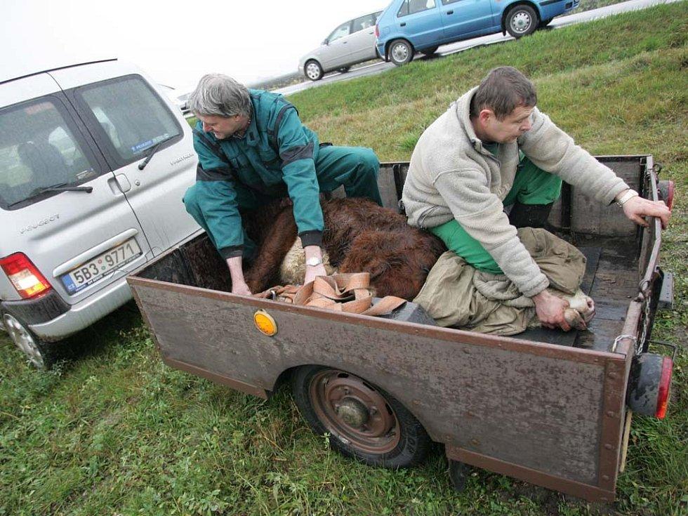 Býk pobíhal kolem tuřanského letiště.