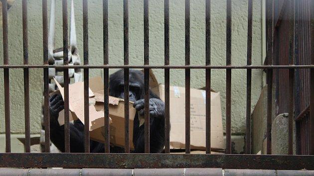 Ke světovému dni dostali šimpanzi ovoce a kokosy. Dárky si rozbalili sami