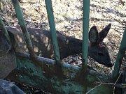 Na pomoc srnce v nouzi vyrazili v sobotu v poledne do Kohoutovic jihomoravští hasiči. Zvíře totiž zůstalo nešťastně uvězněné v jednom z plotů na Libušině třídě.