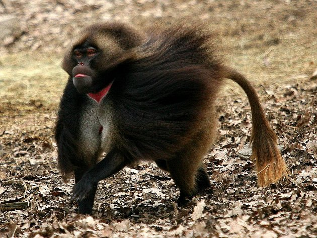 Opičák Heiko ve svém novém výběhu.