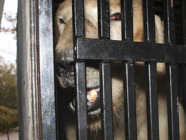 Medvěd Umca se přestěhoval z brněnské zoologické zahrady do Bratislavy.