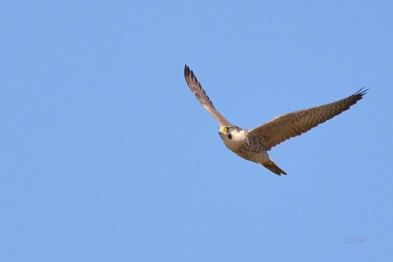 Zachycení ptáků v přírodě je pokaždé plné překvapení. Na snímku je sokol stěhovavý.