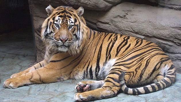 Tygr Dick ještě ve formě.