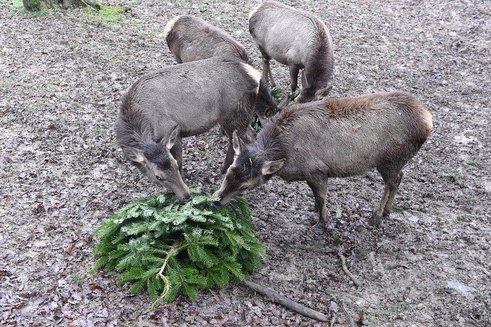 Wapiti sibiřští si v brněnské ZOO pochutnávají na vánočních stromcích.
