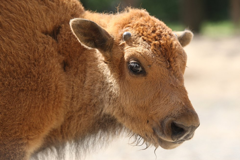 Mládě bizona v brněnské zoo.