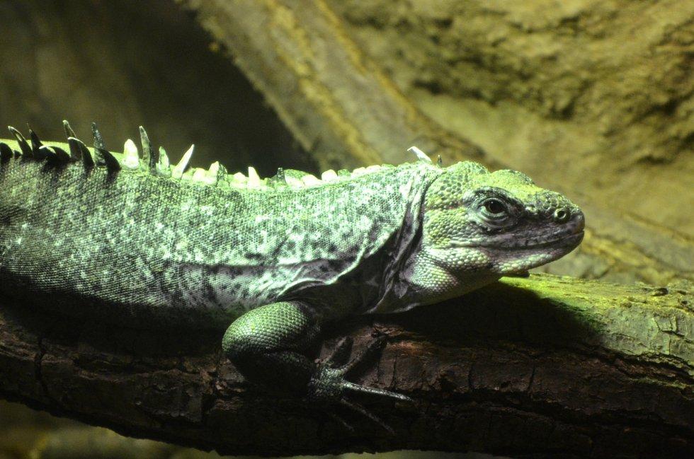 V Tropickém království brněnské zoo je nově i kriticky ohrožený druh leguána - Ctenosaurus bakeri.