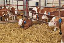 Chytré obojky na býcích odhalí nemoci. Hovězí maso je díky nim kvalitnější.
