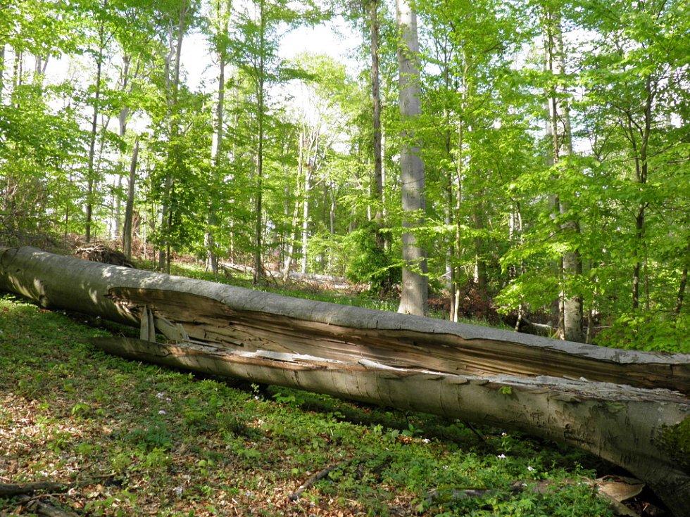 Původní, člověkem nezasažený bukový les se nachází v kopci přibližně půldruhého kilometru nad Lažánkami a Maršovem na Brněnsku a má rozlohu téměř dvacet hektarů. Rostou tam i mnohé vzácné druhy rostlin. Mezi nimi například okrotice.