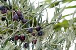 Olivy v českých podmínkách dozrávají v říjnu a na začátku listopadu. V Přibicích už jsou některé zralé.