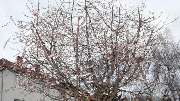 Třešně chloupkaté rozkvetly v brněnské Grohově ulici.