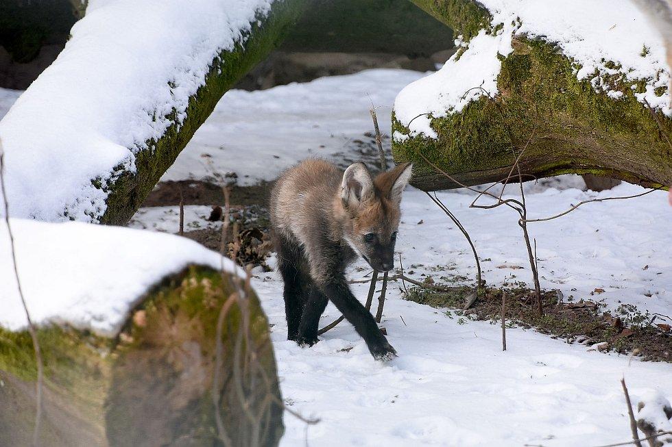 Mládě vlka hřivnatého se baví ve výběhu v hodonínské zoo i s rodiči.
