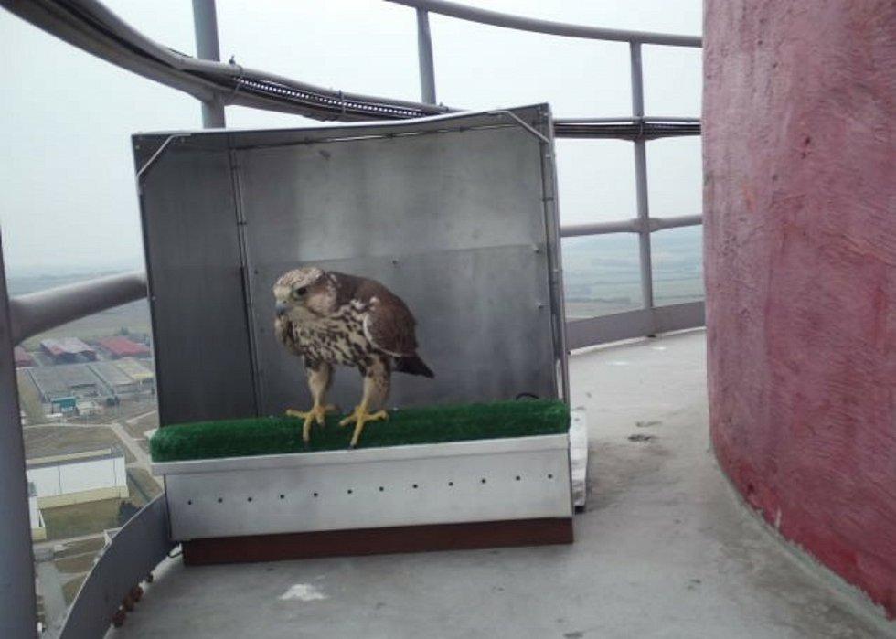 O hnízda soupeří sokol stěhovavý s rarohem velkým. Na snímku Raroh velký.