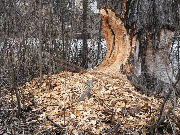Bobr zničil strom v brněnských Holáskách.