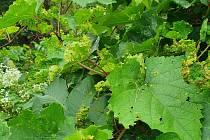 Škůdce mšička révokaz se vyskytla na listech vinné révy ve Farské zahradě v městské části Brno-Komín.