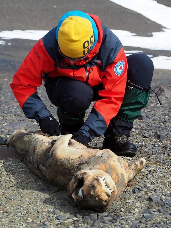 …nebo jak dlouho je objekt vašeho vědeckého zájmu po smrti :) Toto je mimochodem mrazem vysušená mumie dávno uhynulého tuleně, ležící nedaleko stanice – říkáme jí s láskou nejjižnější brněnský Kapucín a je trvale v hledáčku našich mikrobiologů.