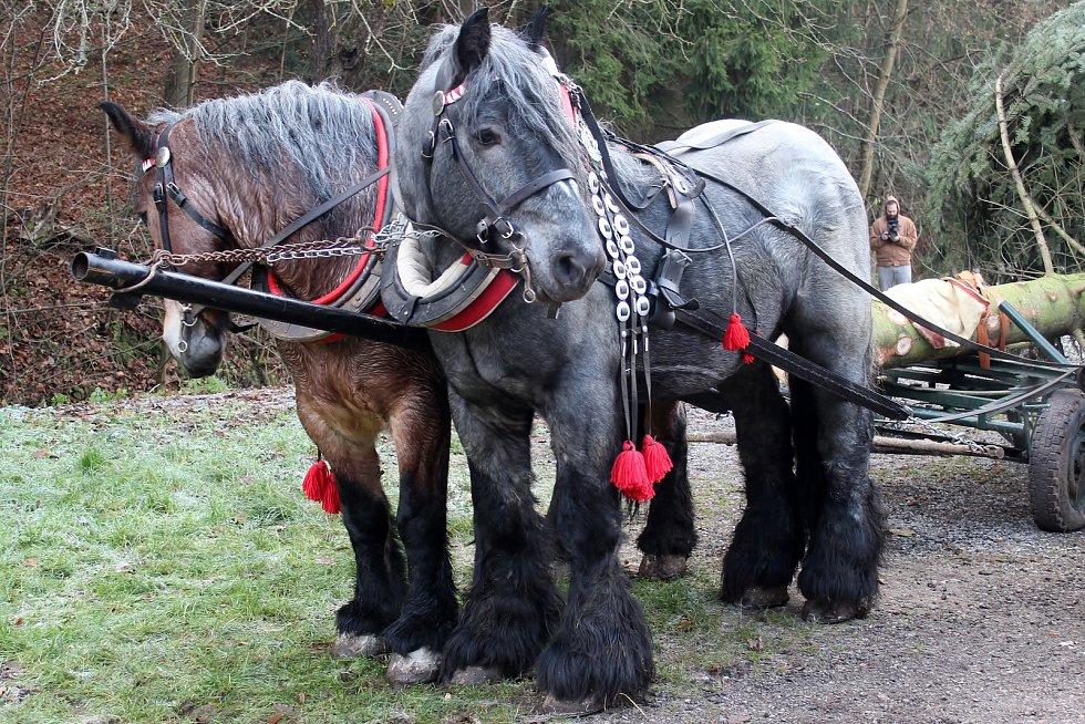 Vánoční strom od soboty stojí na brněnském náměstí Svobody. Šestnáctimetrovou jedli přivezli koňským povozem z Bílovic nad Svitavou.