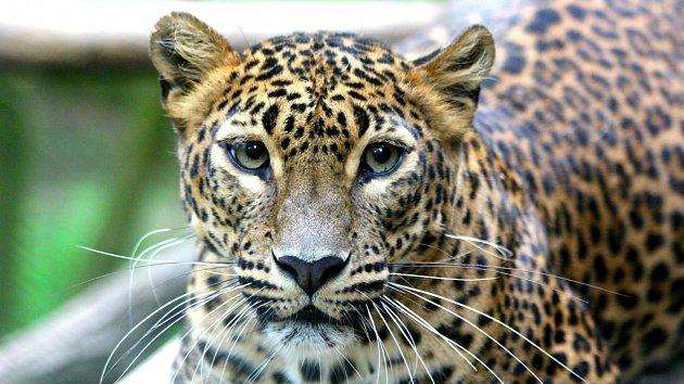 V brněnské zoo se narodila dvě levhartí mláďata. Po sedmnácti letech
