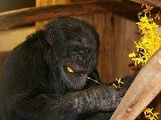 Letos jsou v brněnské zoo tři nové expozice za dvaapadesát milionů korun. Ředitel Martin Hovorka plánuje přivézt lvy a pižmoně.