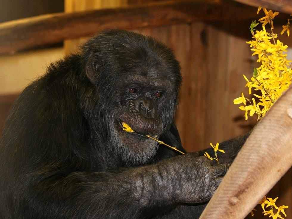 Poklepem na základní kámen zahájili práce na novém výběhu pro šimpanze v brněnské zoo. Stavba za téměř čtyřicet milionů korun má být hotová za osmnáct měsíců.