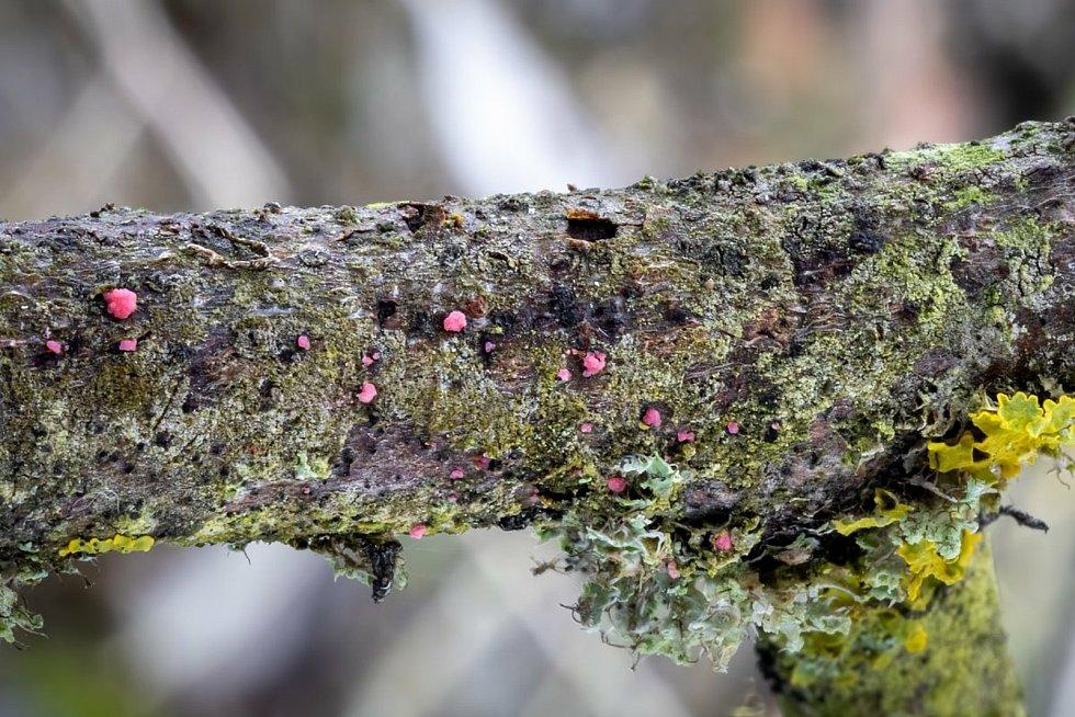 Illosporiopsis christiansenii.