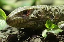Novým přírůstkem brněnské zoo je trojice tropických ještěrů.