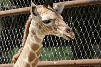 Nové mládě žirafy v brněnské ZOO.