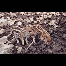 V oboře Holedná se narodilo téměř třicet selátek. Přesný počet je zatím neznámý, matky si totiž malá divoká prasátka zatím bedlivě střeží, naposledy odborník napočítal sedmadvacet přírůstků. Lidé by neměli mláďata krmit.