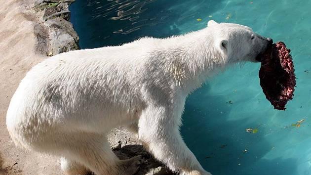 Medvědice Kora má kolem čtyř set kilogramů.