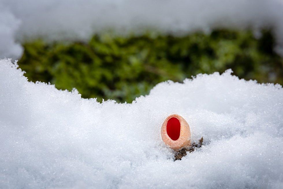 Ohnivec (nejspíš) rakouský – nejedlý. Dokáže na stanovišti vytrvat bez poškození pod sněhem až do jara.