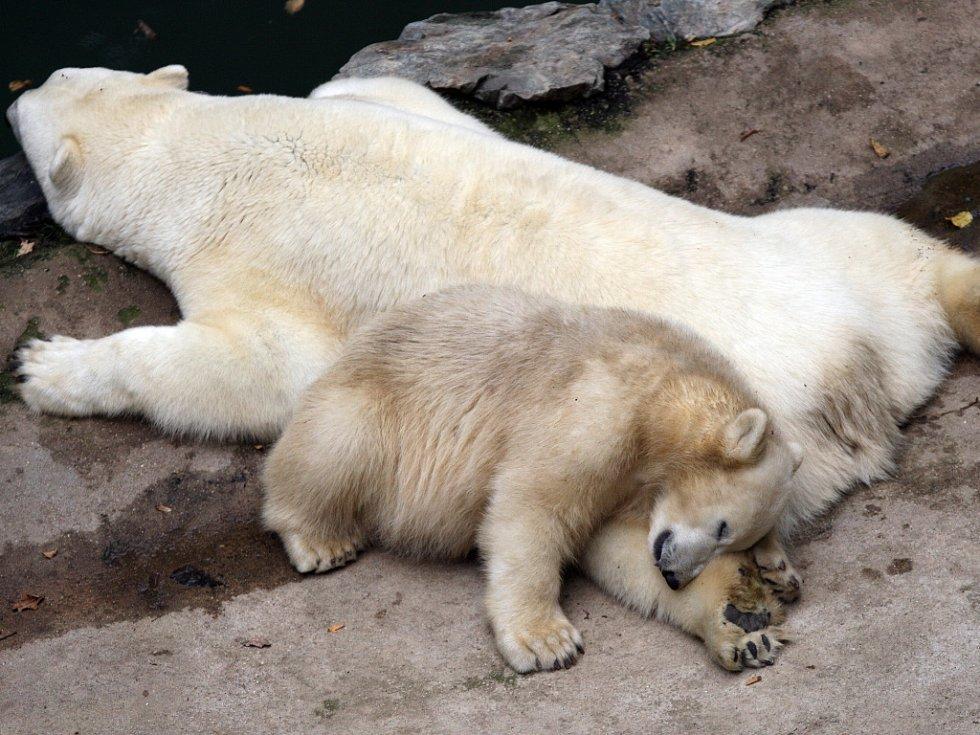 Lední medvědi z brněnské zoologické zahrady.