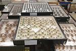 Jihomoravští kriminalisté zabavili při dvou domovních prohlídkách nezaměstnanému entomologovi přes 9100 kusů vzácného hmyzu. Zvláště chráněné druhy motýlů, třeba jasoně červenookého, nabízel na zahraničním aukčním portálu.