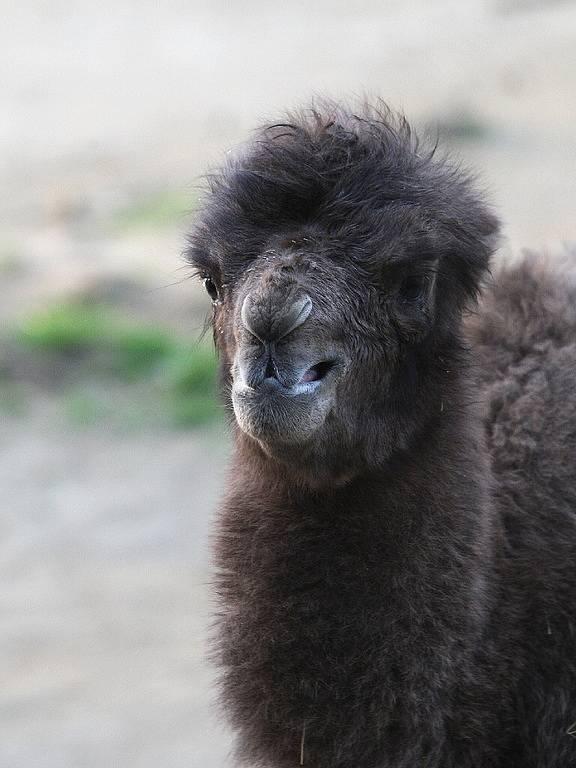 Zoo má nový přírůstek. Mládě velblouda