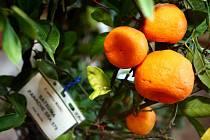 Výstava citrusových plodů, kávy a různých druhů rostlin v Lužánkách.