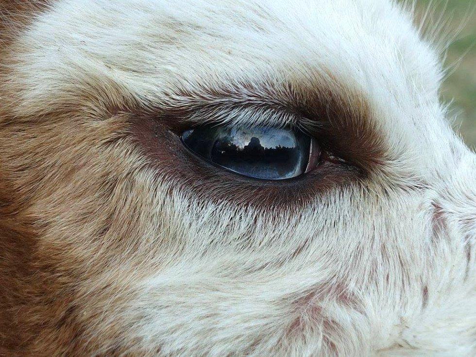 Blankytně modré oči malého malého lamího samce lidé uvidí v Lamacentru Hády. Mládě se narodilo o víkendu. Modrooké lamy jsou velkou vzácností.