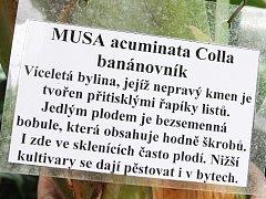 Brněnskou botanickou zahradu zdobí květy banánovníku