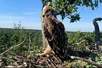 Mládě orla královského. Foto: Petr Dvořan