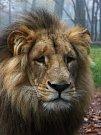 Lev Lolek a lvice Kivu spolu žijí už dva měsíce v brněnské zoologické zahradě v Bystrci.